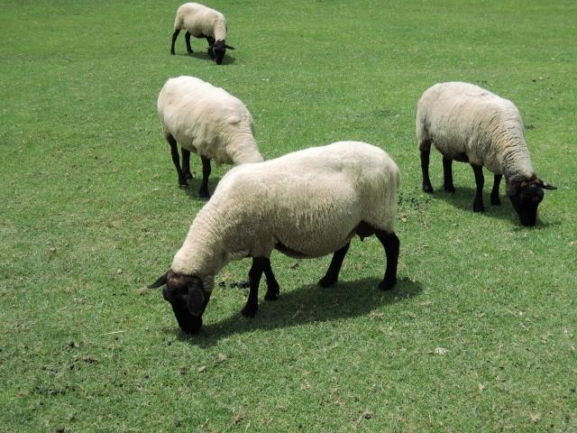 ニュージランドの主要産業は羊毛くらい