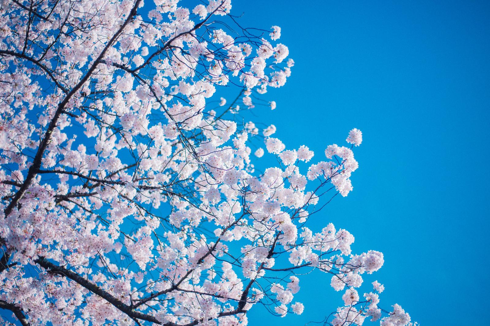 年度初めを象徴する桜
